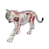 4D Master Vision Beyaz Kaplan Anatomi Modeli